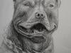 pitbull_by_zdravi90