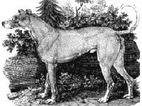 Ирландский волкодав Геллерт.